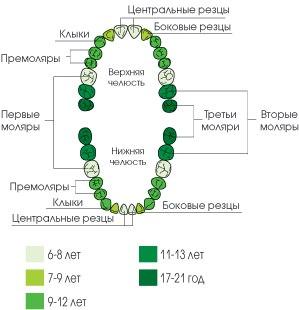График выпадения молочных зубов и прорезывания постоянных
